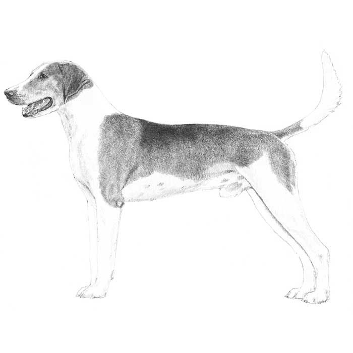 American Foxhound Dog Breed Information Dog Breeds American