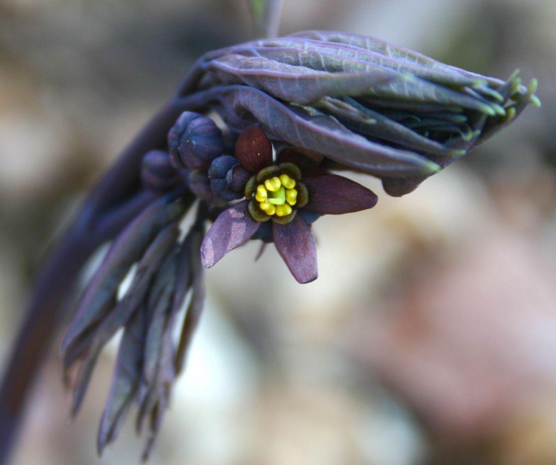 Fleur De Sous Bois Bleue fleur sauvage du québec, le cohosh bleu ou caulophylle faux