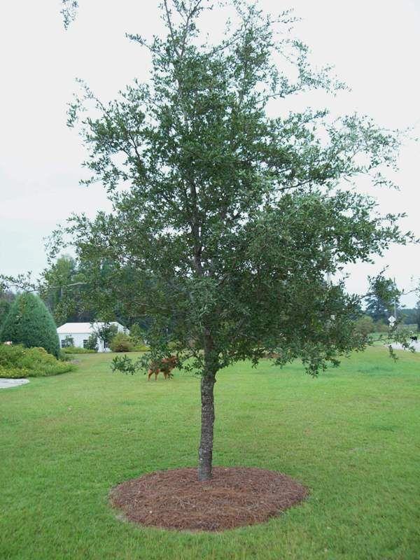 Live Oak Tree Facts Oak Trees Landscaping Shade Trees Live Oak Trees