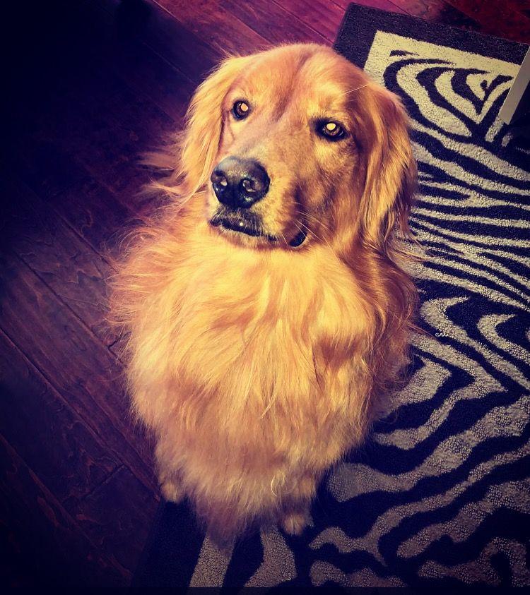 Bentley S Glorious Chest Fur Dogs Golden Retriever Golden Dog
