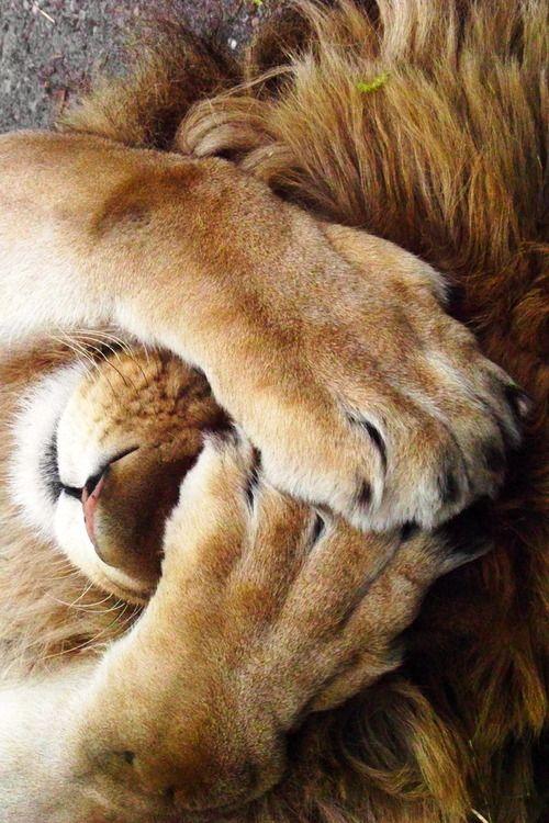 Happy Thoughts X Pinterest Leones Animales Y León
