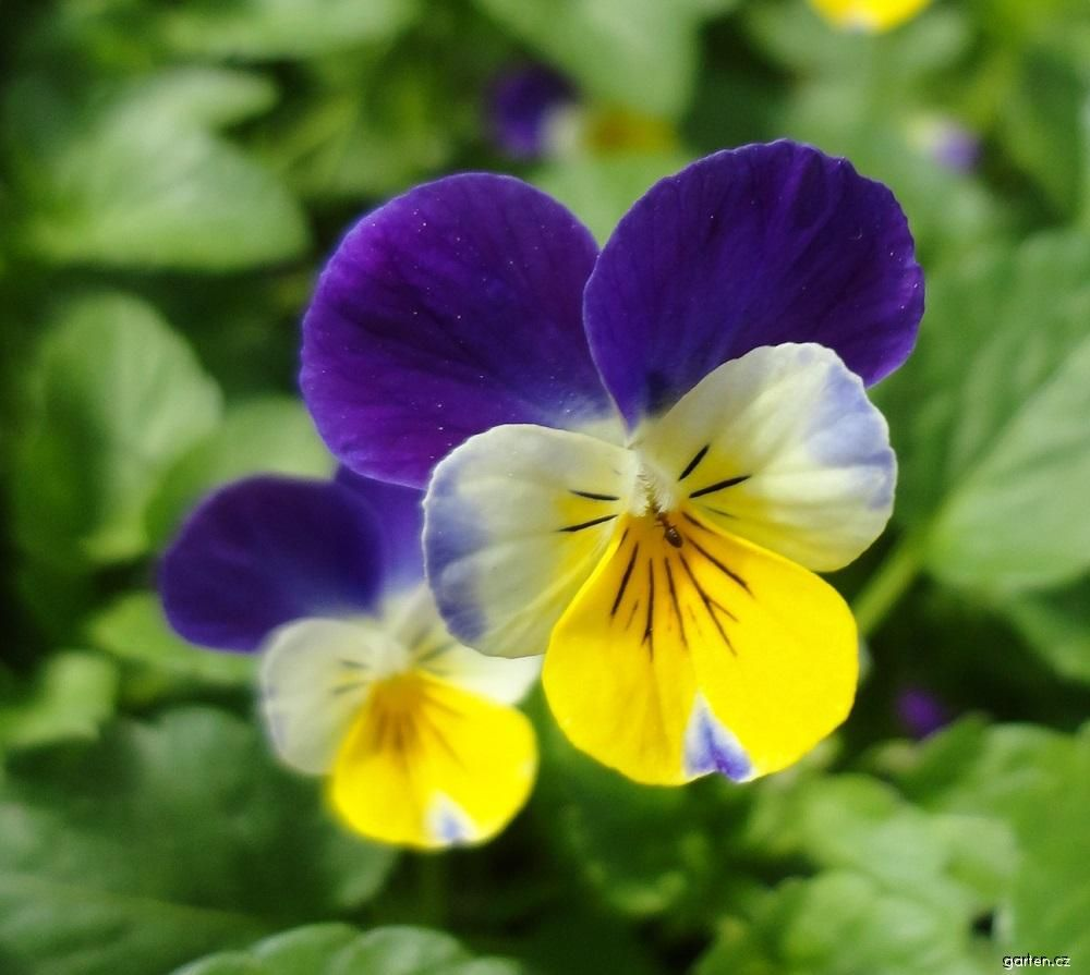 Mačeška drobnokvětá (Viola cornuta)