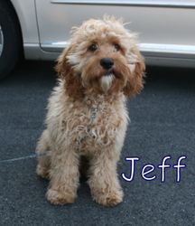 Adopt NJ Jeff on Cockapoo, Cockapoo dog, Puppies, kitties