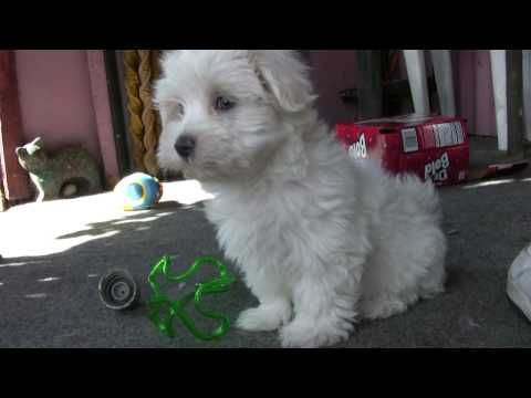 Maltese Dog Information For Dog Lovers Maltese Puppy Puppy Paws