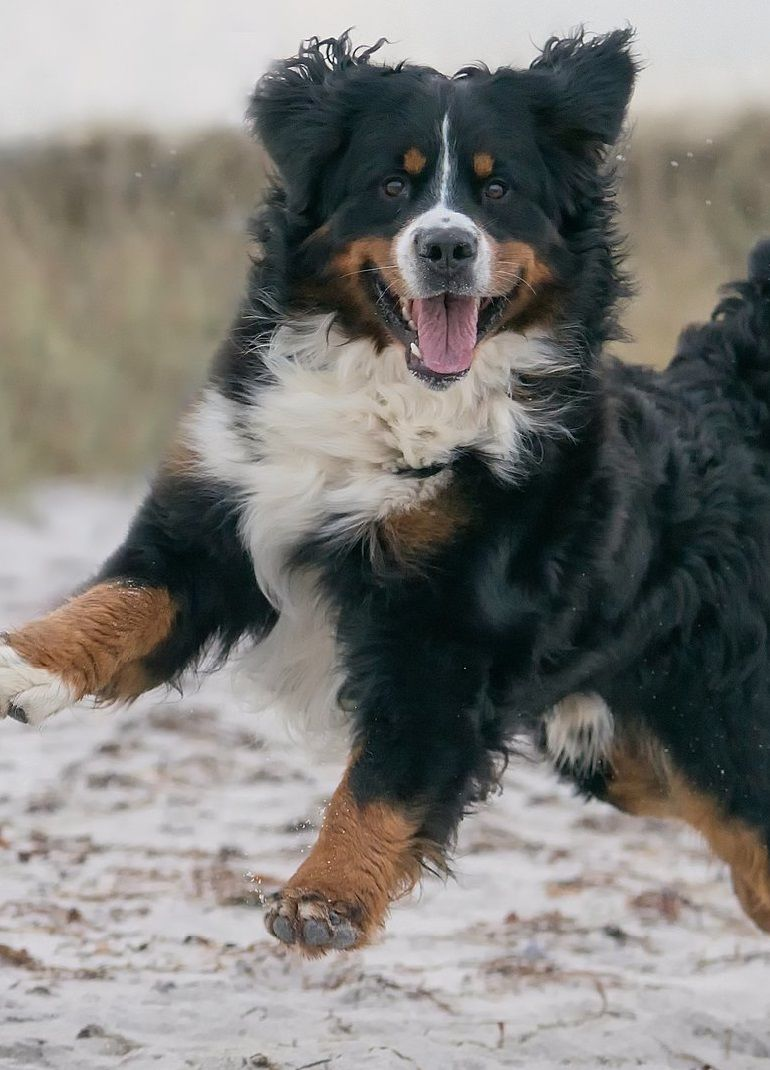 Bernese Mountain Dog Hd Pictures Images Burnese Mountain Dog Bernese Mountain Dog Mountain Dogs