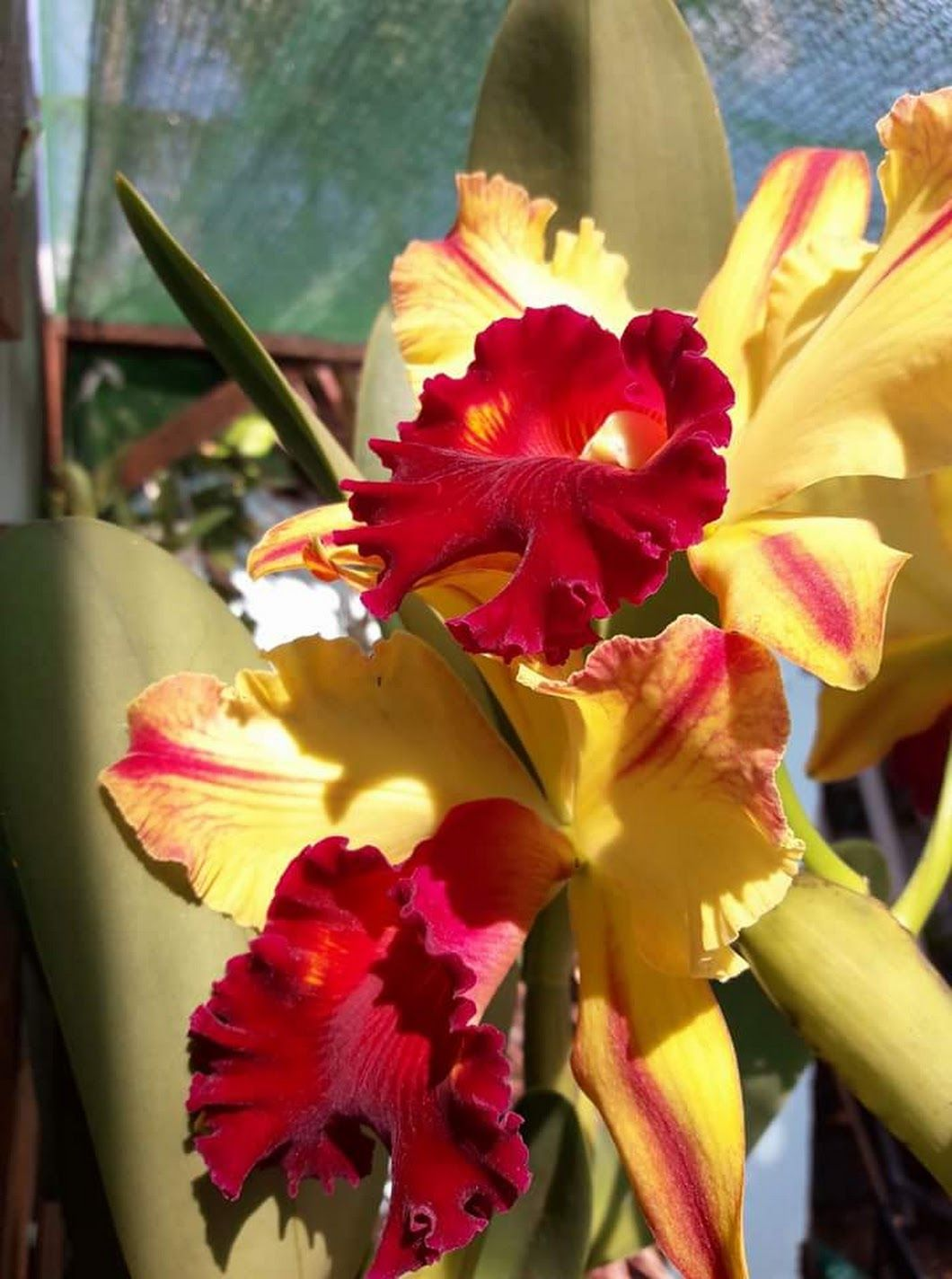 Pin By Laura Rodriguez On Beautiful Bouquet Beautiful Flowers Beautiful Orchids Cattleya Orchid