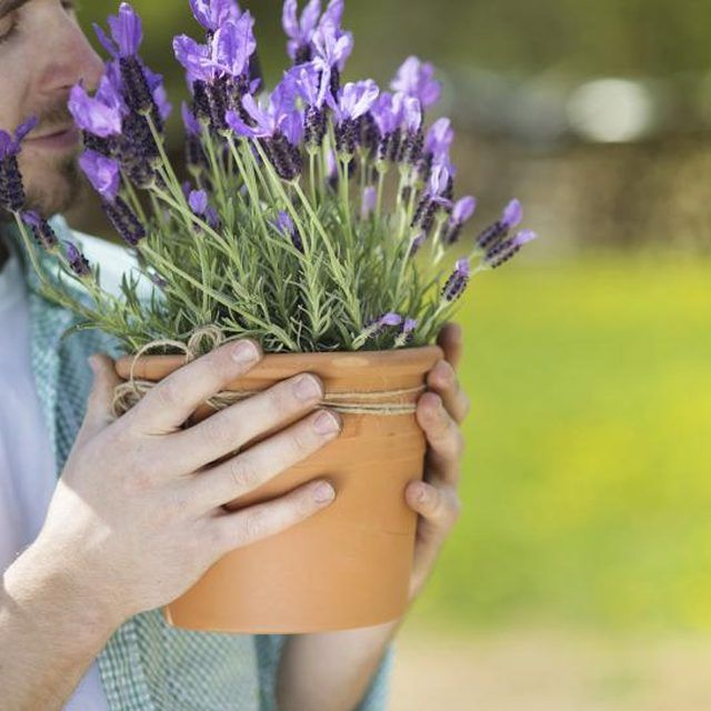 even a small pot of lavender packs a powerfully fragrant punch herb garden growing lavender. Black Bedroom Furniture Sets. Home Design Ideas