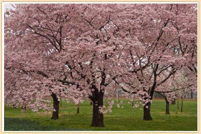 Washington Dc With Kids Planting Cherry Trees Cherry Blossom Tree Garden Trees