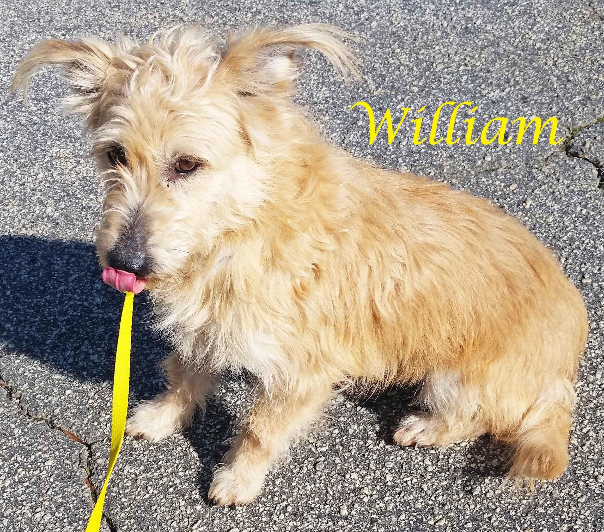 Cairn Corgi dog for Adoption in Griffin GA ADN on