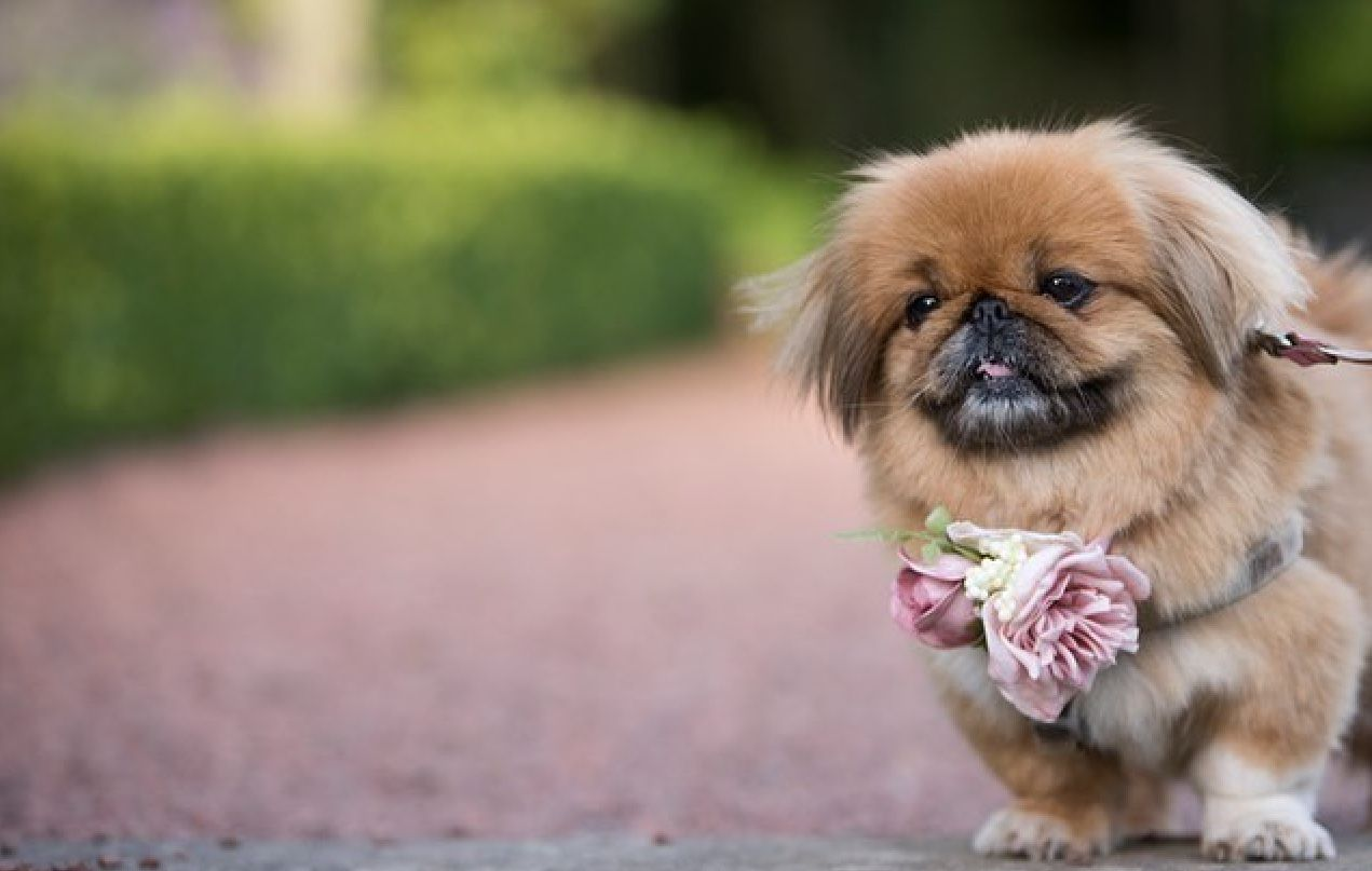 Pin By Bill Fournier On Pekingese Pekingese Dogs Pug Puppies