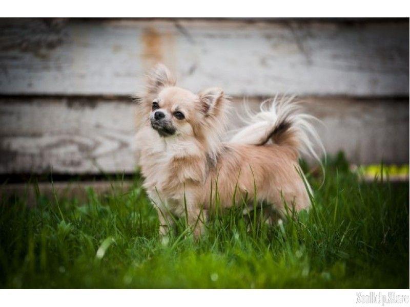 Chihuahua Puppies For Sale Virginia Chihuahua Puppies Chihuahua