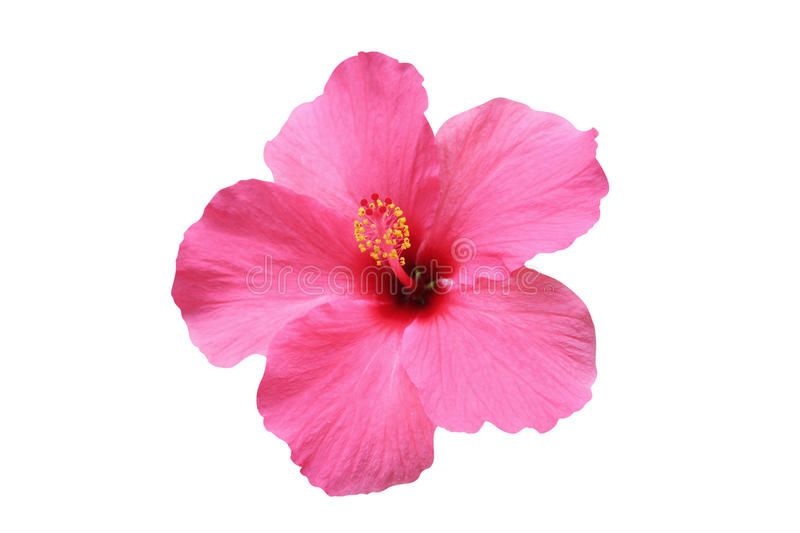 Hibiscus Flower Isolated On White Background Ad Flower Hibiscus Isolated Background White Ad Hibiscus Flowers Flowers Hibiscus