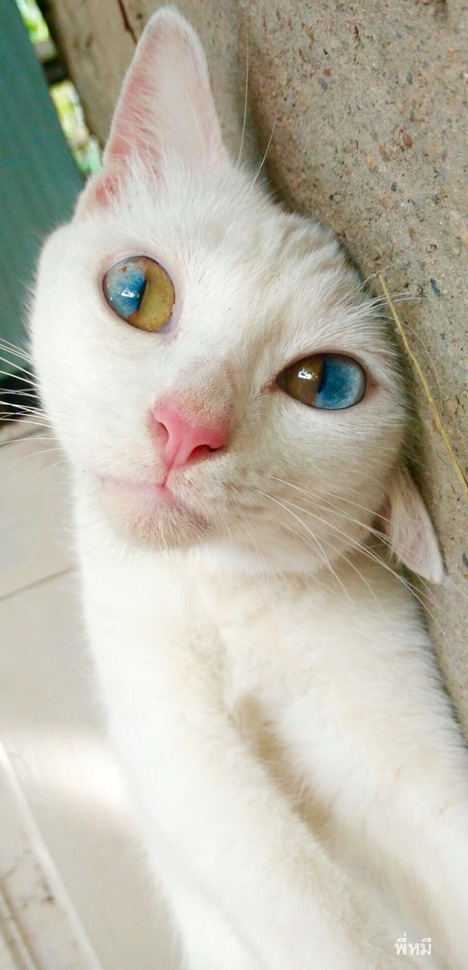 supposedly all white cats with blue eyes are deaf hopefully this
