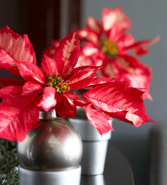 Poinsettia House Plant: Tips For Taking Care Of Holiday Poinsettia Plants: Tuesday