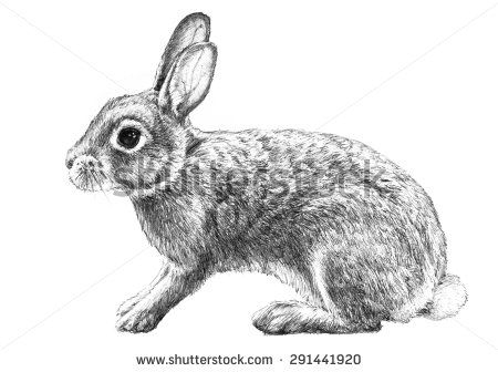 A bunny rabbit illustration of a cute common animal that has long ears and is a symbol of easter and spring in a hand drawn pencil sketch on white
