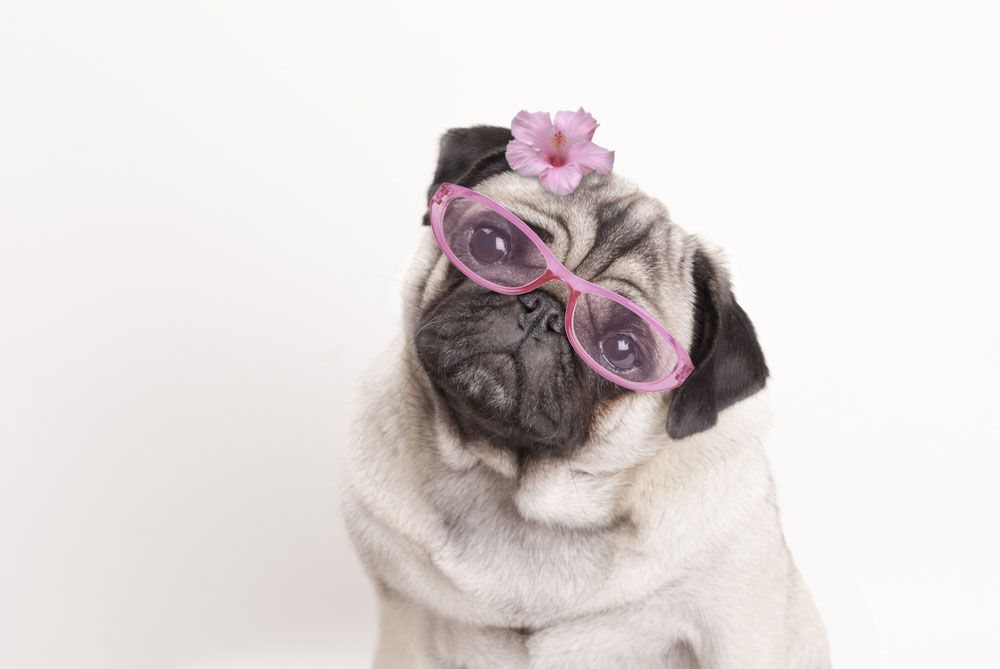 Fourteen Fun Facts About Pugs You Need To Know Pug Facts Cute