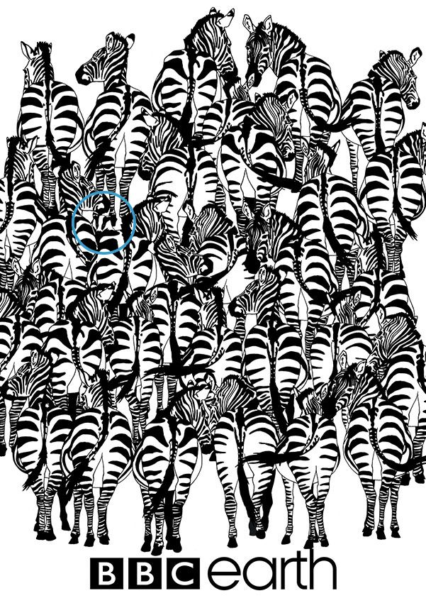 Can You Spot The Badger In The Herd Of Zebras? – Answer