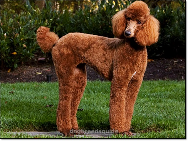12 Dog Breeds That Don T Shed Dog Breeds That Don T Shed Hypoallergenic Dog Low Shedding Dogs Non Dog Breeds That Dont Shed Dog Breeds Hypoallergenic Dogs