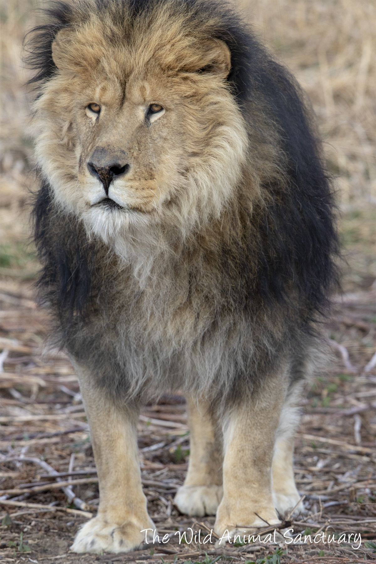 Male African Lion, Ike, was purchased for $450 at an exotic