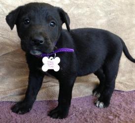 Adopt Rocky 20173 AKA Chip on Lab mix puppies, Labrador