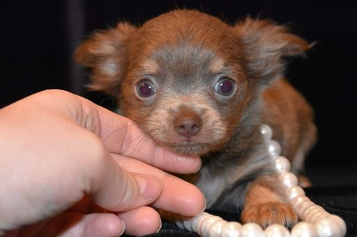 Chihuahua Puppy For Sale In Marysville Wa Adn 69727 On