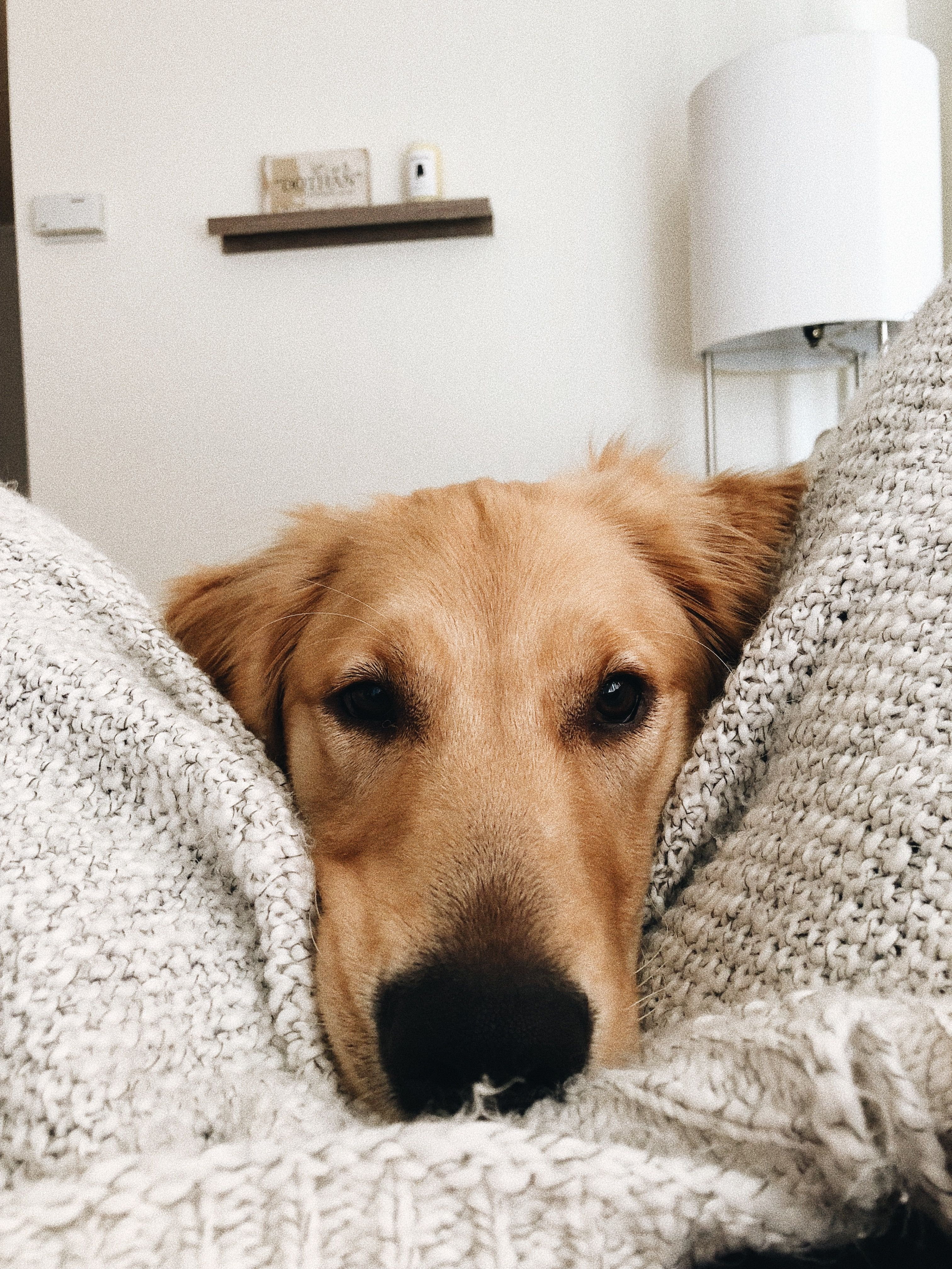 Cavapoo Puppies Paisley