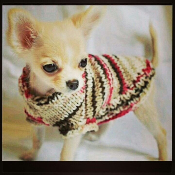 chihuahua kills baby this lil thing can softly steal my heart i want one 549