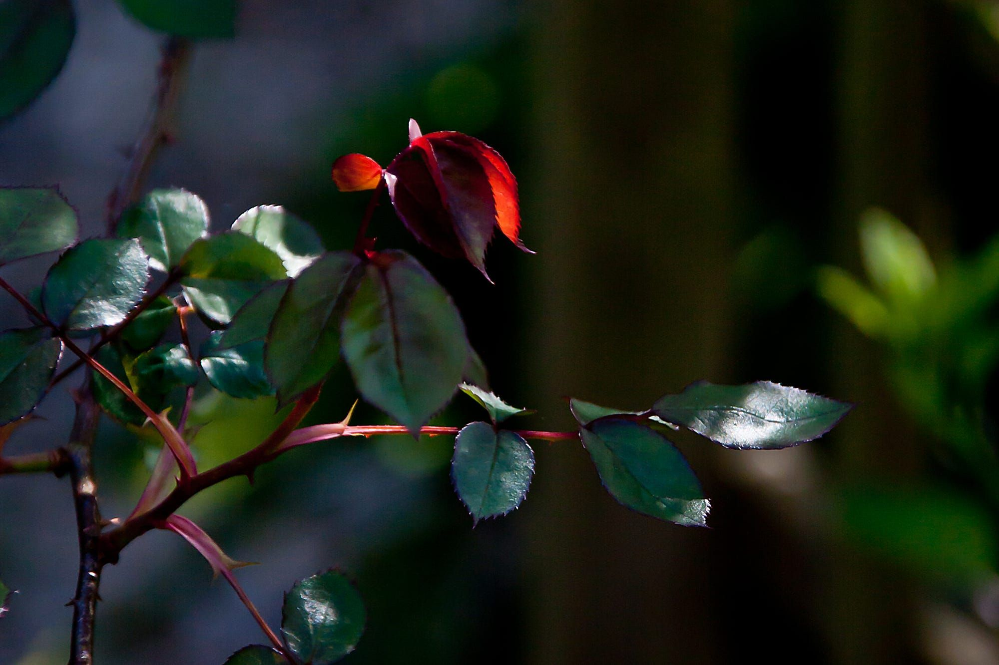 Number 100 - saw this rose bush in the sunbeam between clouds and loved the red leaf being emphasised.  Caught - as in caught in the light and caught by the thorns - this one is a real nuisance and is always snagging me, but I love the roses it produces  Just realised this is number 100!