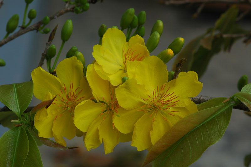 Mai flower
