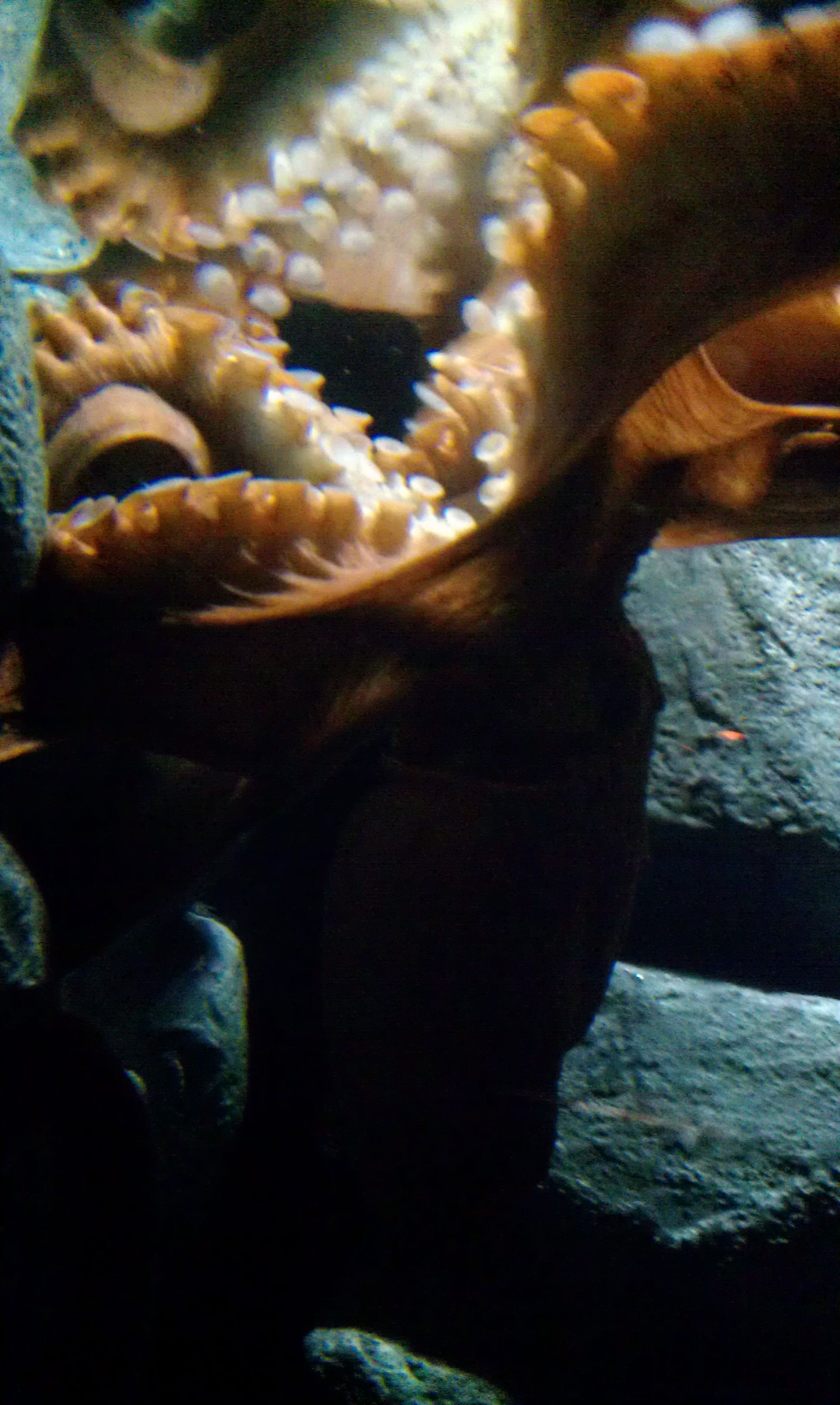 Shot of the resident octopus, taken by my boyfran. Tennessee Aquarium