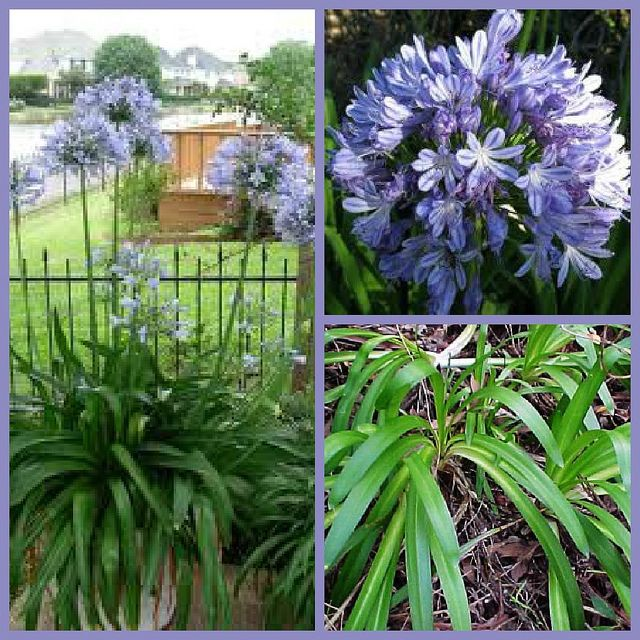 Agapanthus Prae Common