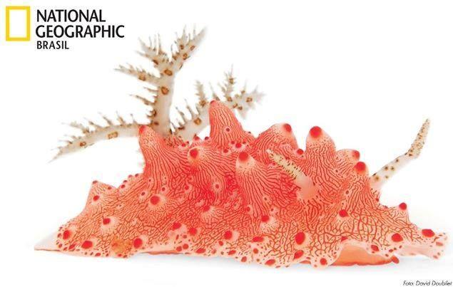 O corpo rígido e a pele grossa do Halgerda batangas protegem o animal de predadores, que aprendem que este devorador de esponjas emite uma toxina poderosa.