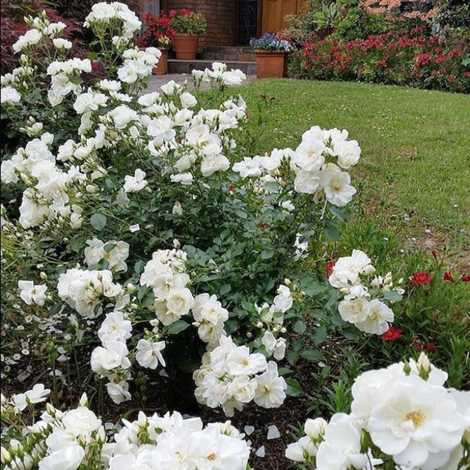 Flower carpet rose white white gardens flower and gardens flower carpet rose white mightylinksfo