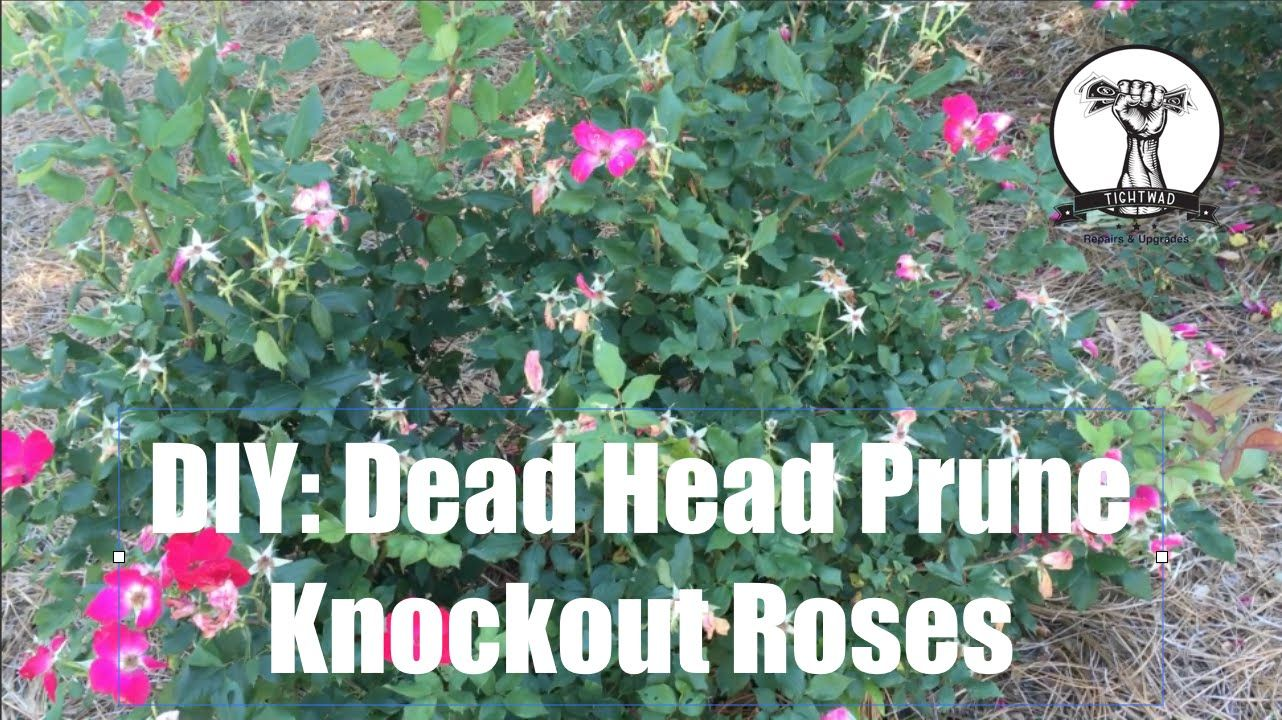 After The First Blooming Cycle Of Roses It Is Helpful To Prune Off The Dead Rose Heads This Not O Knockout Roses Pruning Knockout Roses Double Knockout Roses
