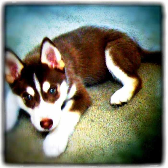 Beautiful Red White Siberian Husky For Sale Siberian Huskies For