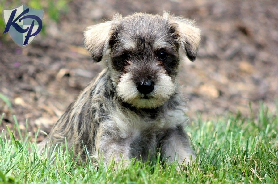 Schnoodle Puppies Schnoodle Puppy Schnoodle Puppies For Sale Schnoodle