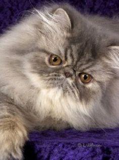 Blue Black Tabby Persian Cat Google Search Persian Cat Pretty Cats Persian Kittens