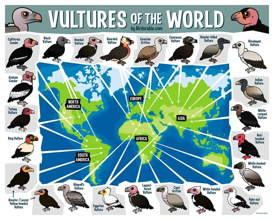 Vulturas of the world (Todos los buitres del mundo)