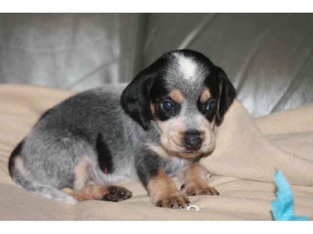 Bluetick Beagle Puppies For Sale