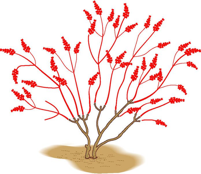 Sommerflieder schneiden: So geht's richtig #bonsaiplants