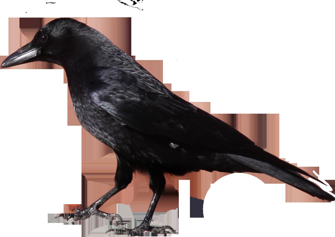 Black Crow Standing PNG Image Crow photos, Black crow, Crow
