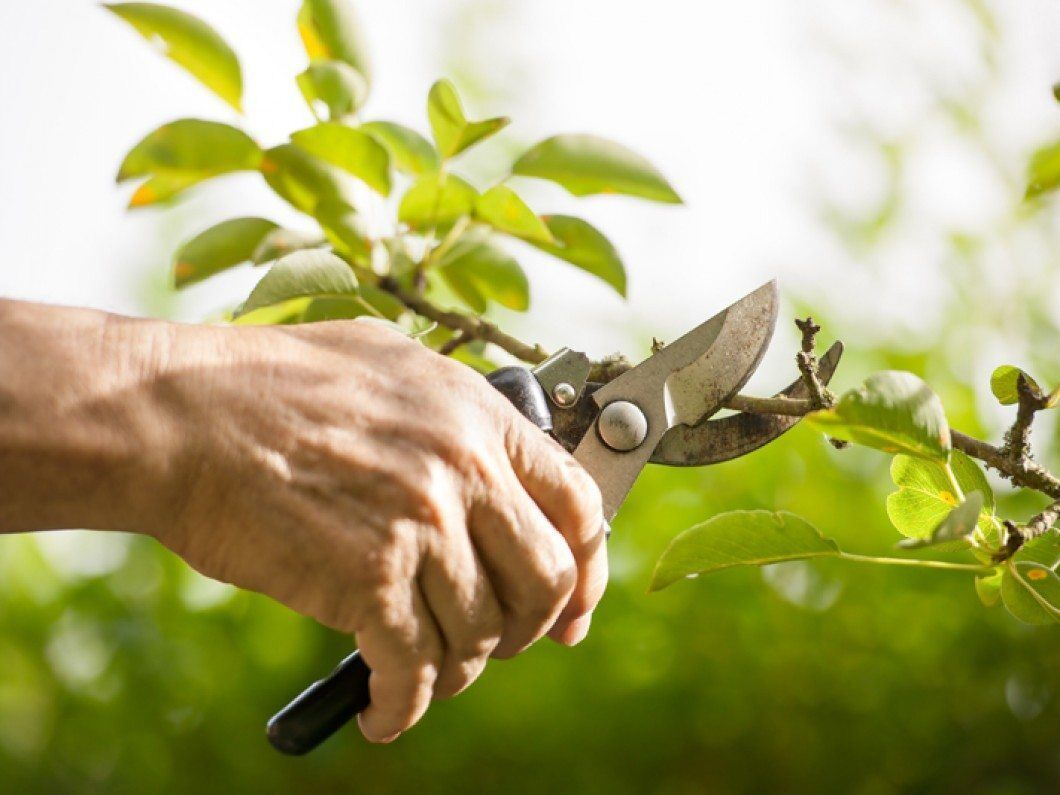 Pruning Is Probably One Of The Most Confusing Topics For New Gardeners Because There Is No Single Method Or Timing That Sui Plants Home Vegetable Garden Shrubs