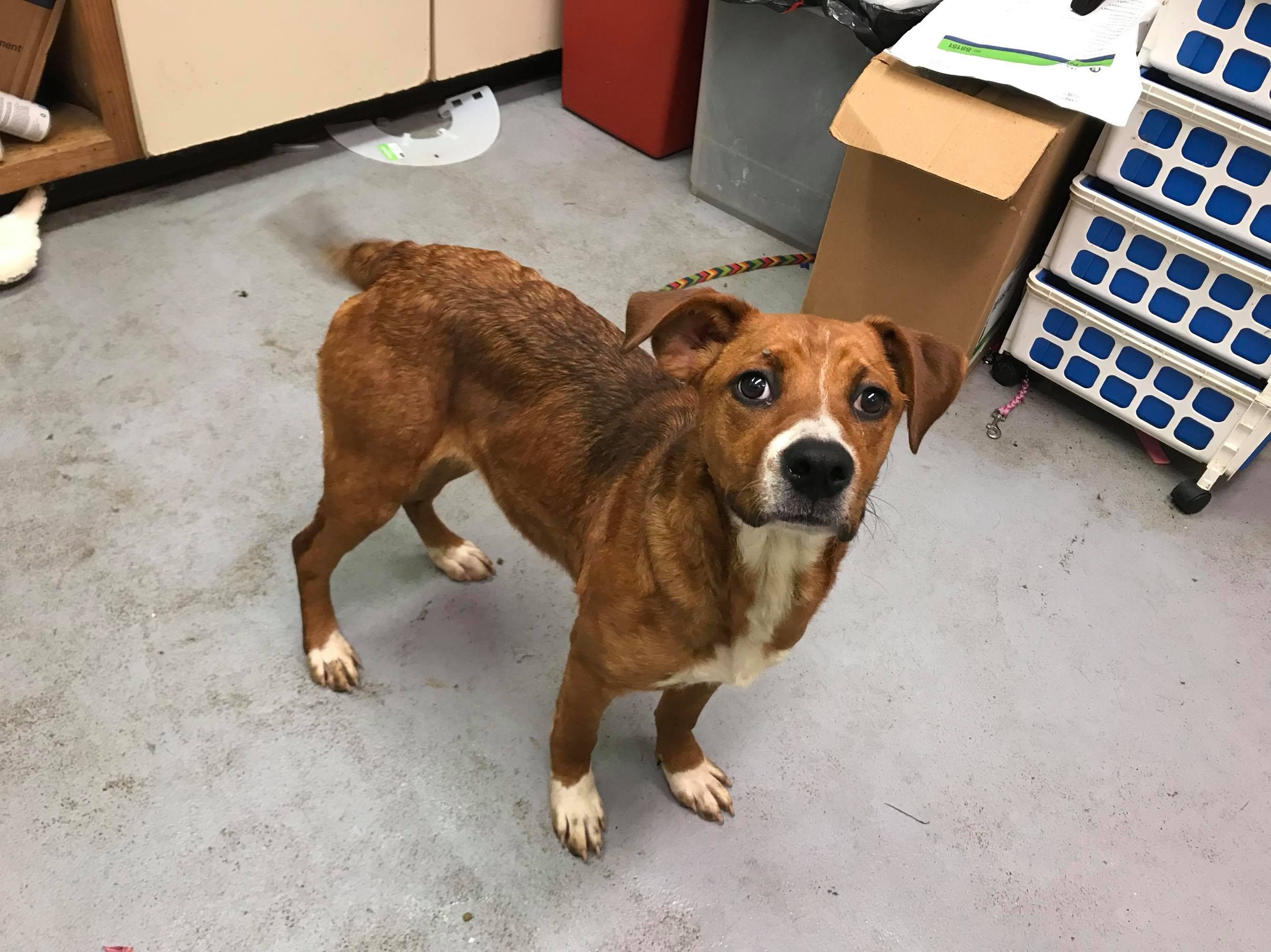 Boxer dog for Adoption in Beckley, WV. ADN710633 on