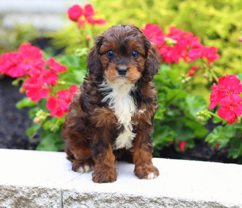 Https Nationalcitypuppy Com Cavapoo Puppies For Sale Cavapoo