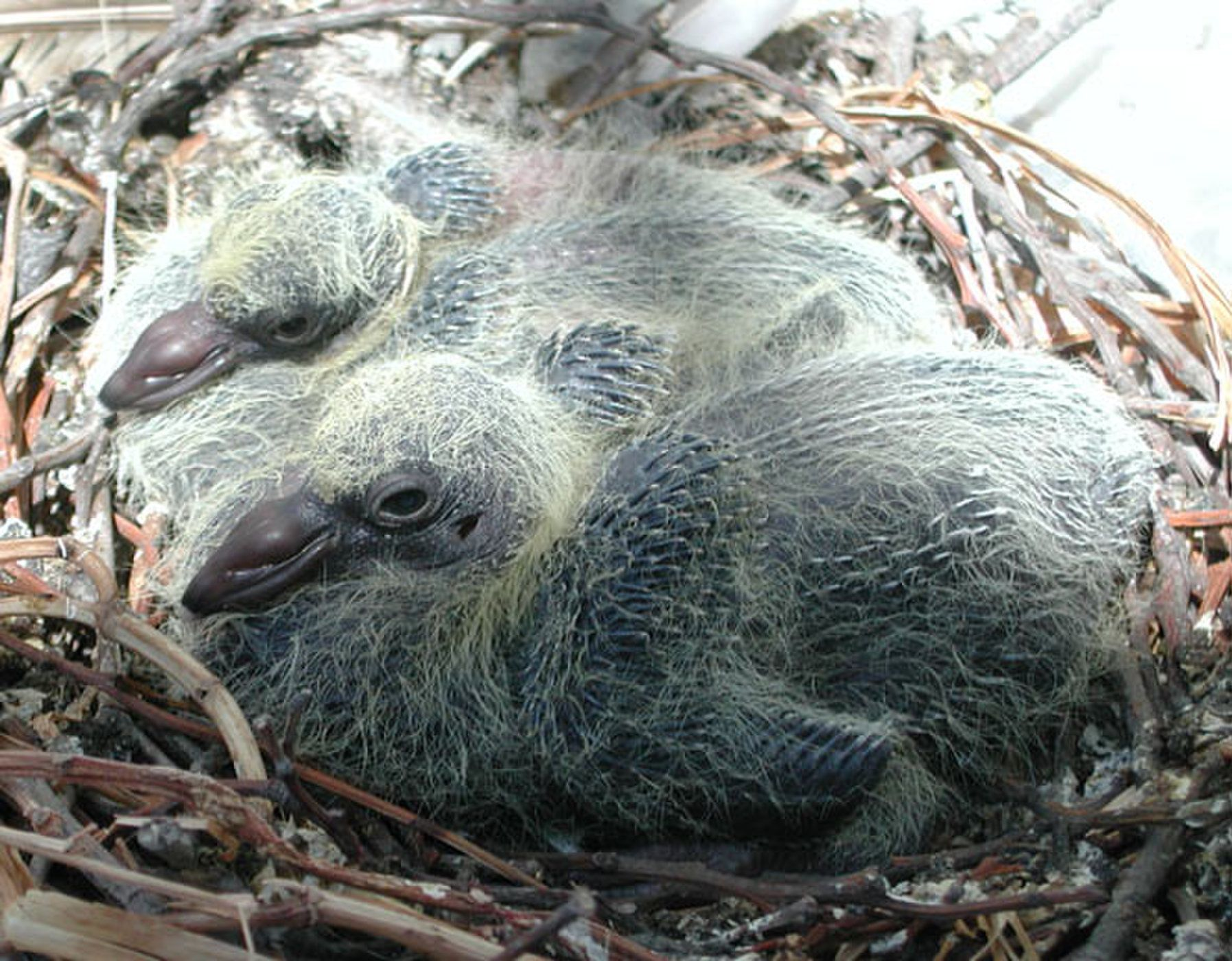 16+ Why do you never see baby pigeons ideas in 2021