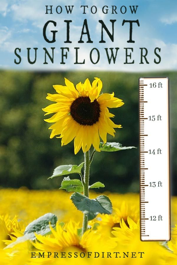 12 Tips for Growing Giant Sunflowers is part of Mammoth sunflower, Growing sunflowers, Giant sunflower, Planting sunflowers, Flower garden, Sunflower garden - Ever wonder how to grow giant sunflowers  These insider tips share how to pick the right seeds and provide the right conditions to grow massive, towering sunflowers in your garden