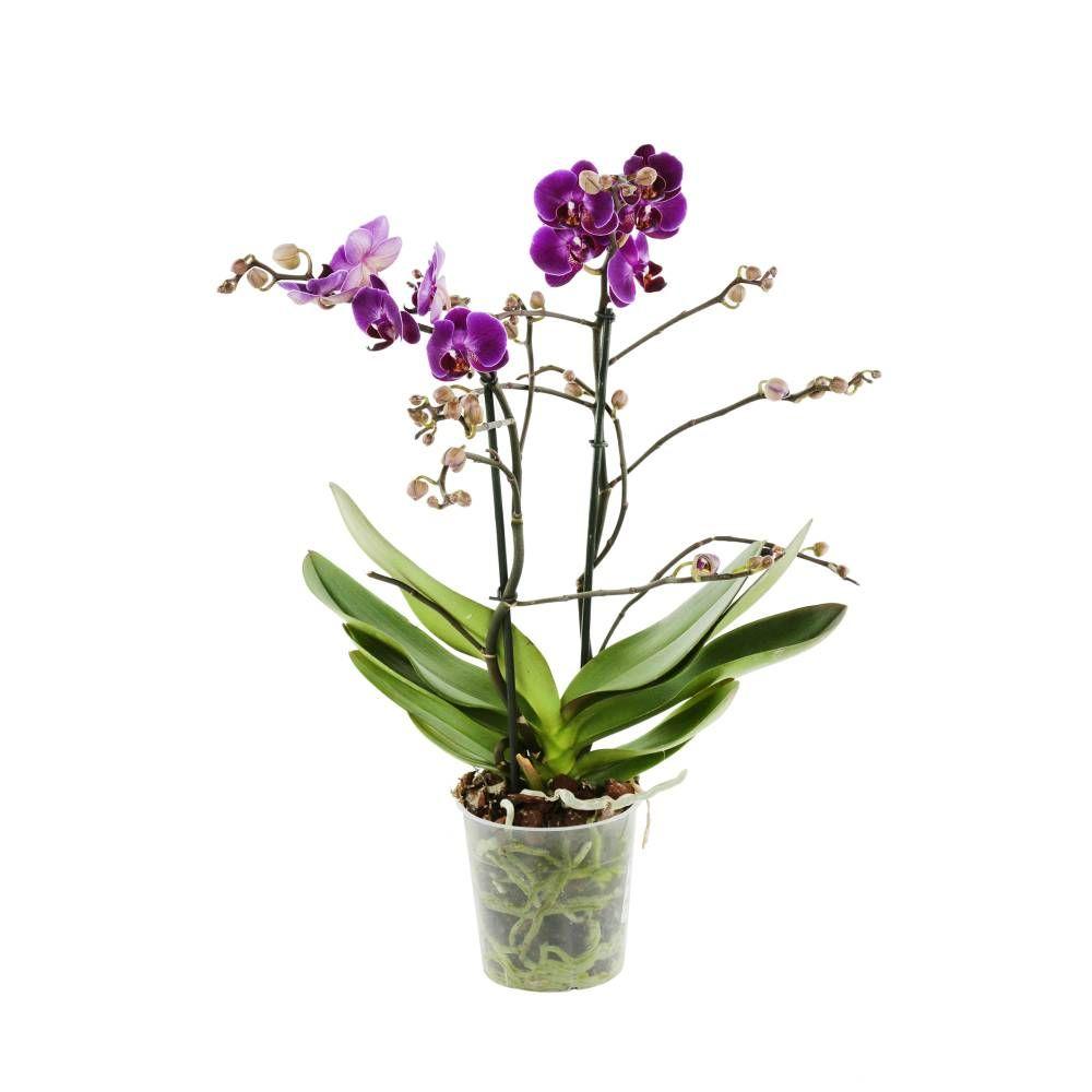 Phalaenopsis Multiflora Mix 2 Tiges Pot D 12cm H 40cm Jardinerie Truffaut Jardinerie Cache Pot