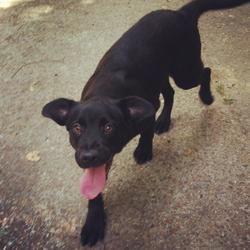 Adopt Hank on Labrador retriever dog, Retriever dog