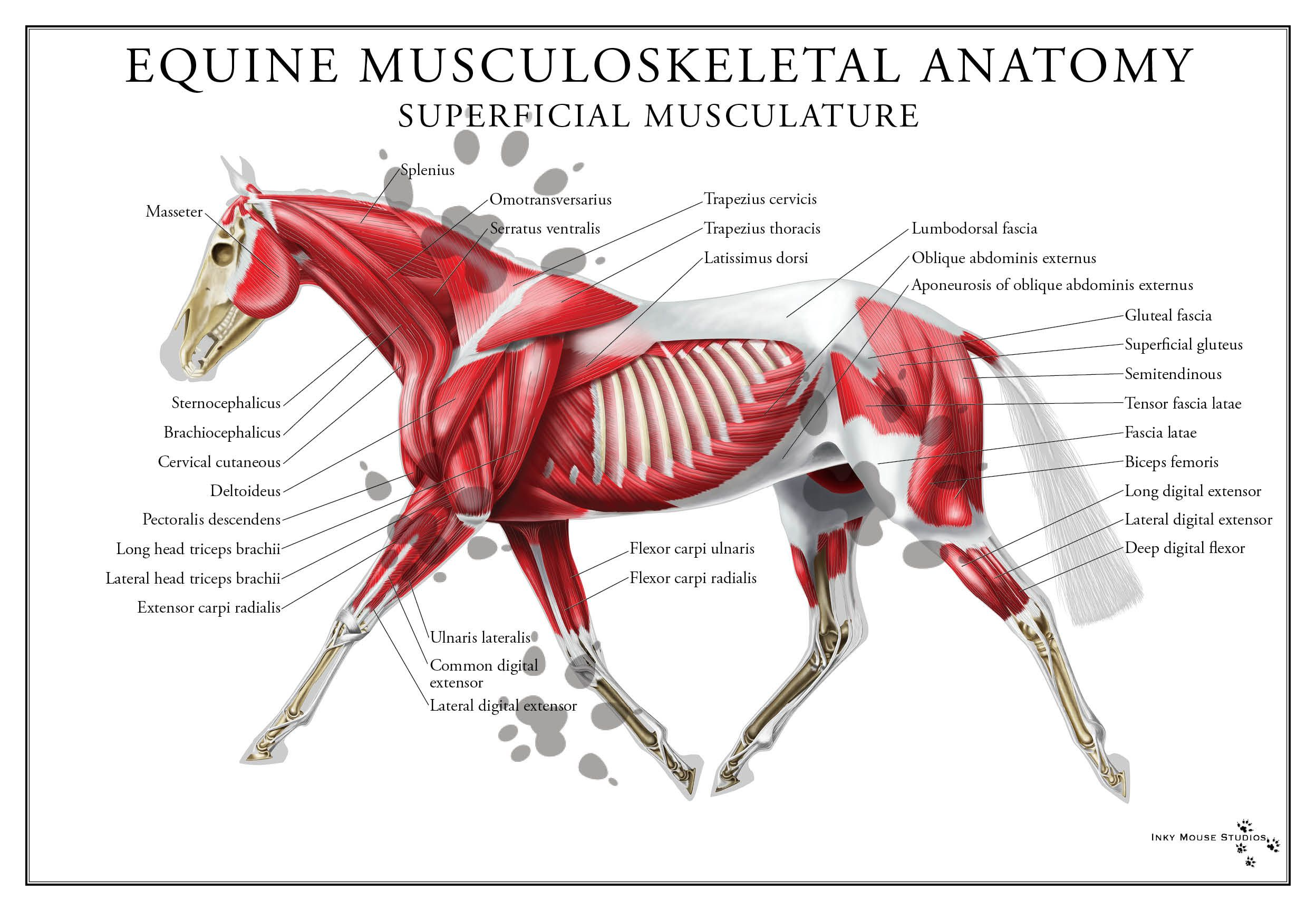 Equine Superficial Muscular System Poster
