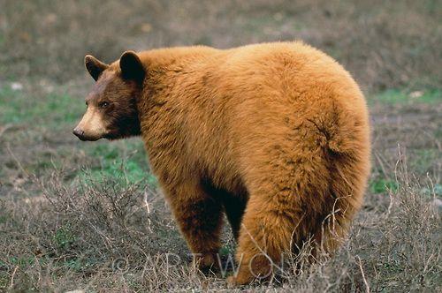 Black Bear Cinnamon Phase Sierra Nevada California Bear Black Bear California Camping